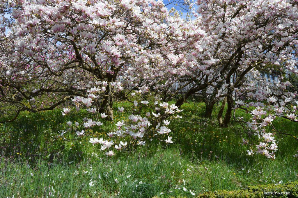 BGer Magnolienbaum-min