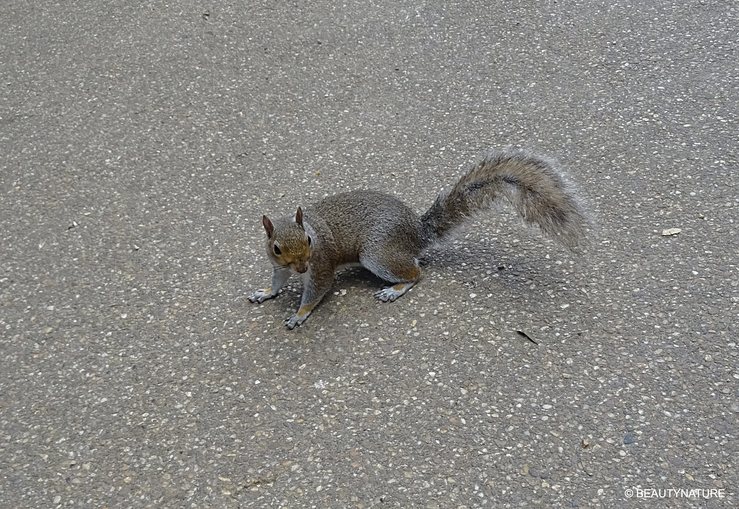 London Eichhörnchen-min